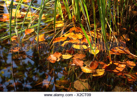 common beech (Fagus sylvatica), beech leaves on water surface of the Laengsee near Kiefersfelden, Germany, Bavaria - Stock Photo