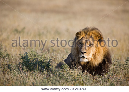 Africa, Botswana, Adult male lion (Panthera leo) resting on grass - Stock Photo