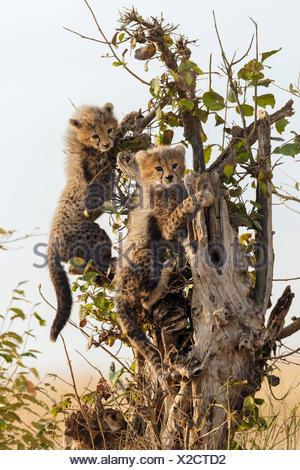 Cheetahs (Acinonyx jubatus), six-week-old cheetah cubs climbing a dead tree, Maasai Mara National Reserve, Narok County, Kenya - Stock Photo