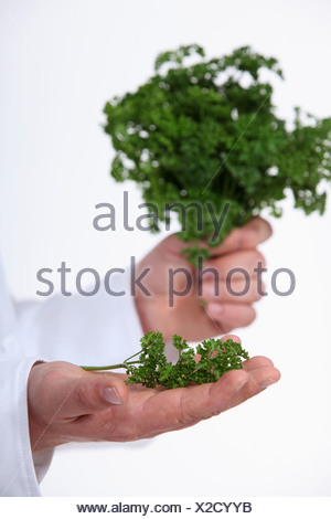 hand of chef holding parsley - Stock Photo