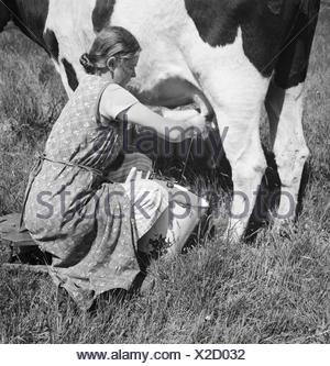 Ein Mdchen beim Melken der Khe im Umland von Bremen, Deutschland 1930er Jahre. A girl milking a cow at the rural surroundings of Bremen, Germany 1930s. - Stock Photo