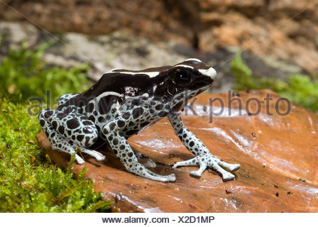 dyeing poison-arrow frog, Dyeing poison frog (Dendrobates tinctorius), black-spotted grey morph sitting on a leaf on the ground - Stock Photo