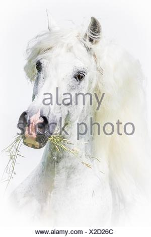 Pure Spanish Horse, Andalusian. Portrait of gray stallion against a white background. Germany - Stock Photo