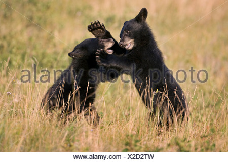 Black bear cubs (Ursus americanus), play wrestling, Waterton Lakes National Park, Alberta, Canada. - Stock Photo