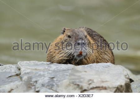 Coypu (Myocastor Coypus) sitting on a stone - Stock Photo