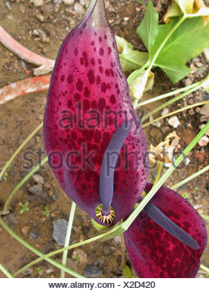Dioscorides' Arum (Arum dioscorides), inflorescence - Stock Photo