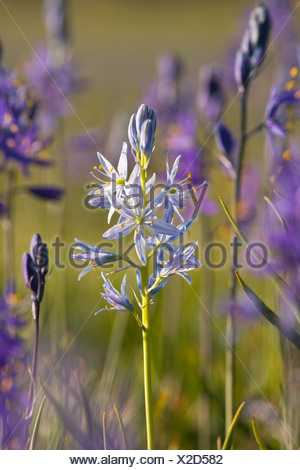 A closeup photo of a single white Camas Lily in a field of purple Camas Lilys in Sagehen Meadow near Truckee in California - Stock Photo