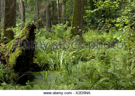 Impression of the soaking wet Alder Swamp in the strict reserve of the Bialowieza National Park. - Stock Photo