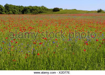 Grain-field with poppies and cornflowers,island Rügen,Mecklenburg-West Pomerania,the Baltic Sea,Germany, - Stock Photo