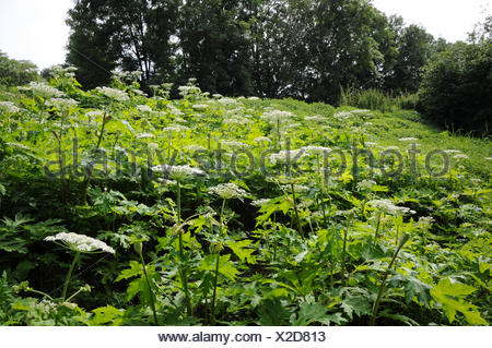 Heracleum mantegazzianum, Giant hogweed - Stock Photo