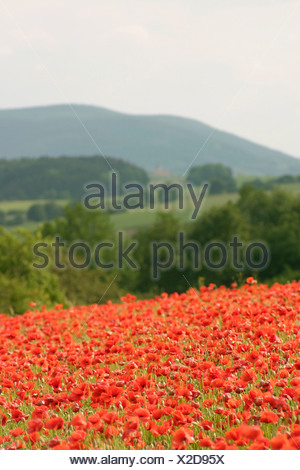 Red poppy field Papaveraceae sp summer - Stock Photo