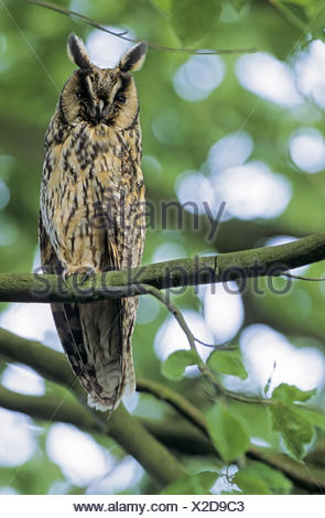 Long-eared Owl adult bird observing the photograph Stock Photo