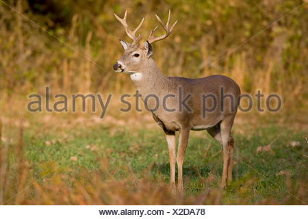 White-tailed Deer Odocoileus virginiannus Burneyville Oklahoma USA - Stock Photo