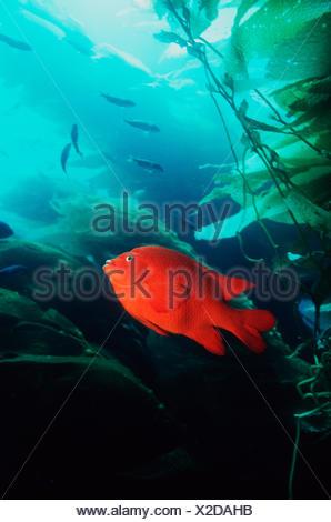 Garibaldi (Hypsypops rubicanda) amongst Giant Kelp (Macrocystis sp) California, USA