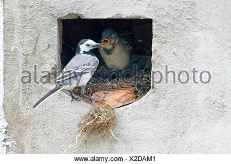 pied wagtail (Motacilla alba), female feeding squeaker, Germany