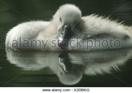 Mute swan - chick in water / Cygnus olor - Stock Photo