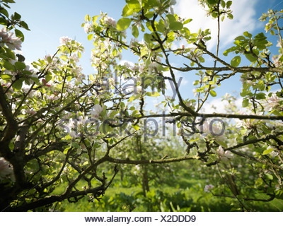 Apple Blossom In Orchard - Stock Photo