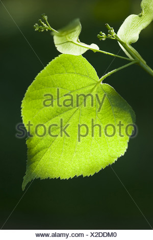 large-leaved linden, tilia platyphyllos - Stock Photo