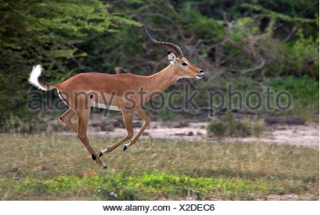 impala (Aepyceros melampus), running male, side view, South Africa - Stock Photo
