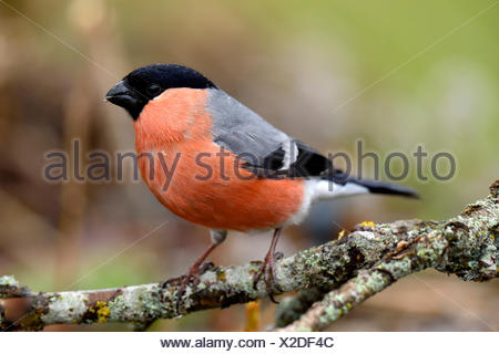 Eurasian bullfinch (Pyrrhula pyrrhula), male sitting on branch, Hedmark, Norway - Stock Photo