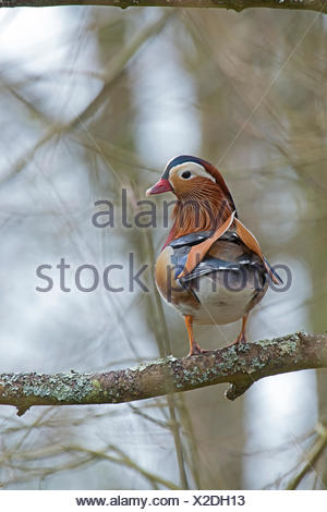 Mandarin Duck Aix galericulata male Arundel UK - Stock Photo