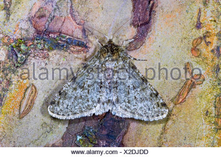 Pale brindled beauty (Apocheima pilosaria, Phigalia pilosaria), on bark, Germany - Stock Photo