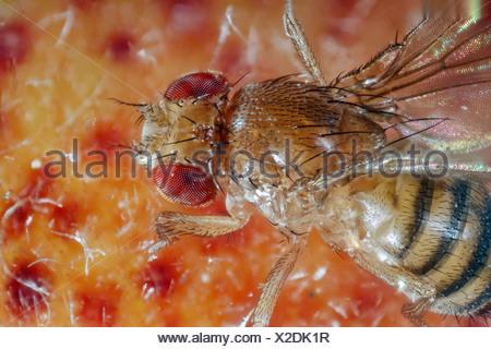 vinegar fly, fruit fly (Drosophila melanogaster), on peach, Germany, Mecklenburg-Western Pomerania - Stock Photo