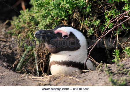 Jackass Penguin, African penguin, Stony Point, Betty's Bay, Western Cape, South Africa, Africa / (Spheniscus demersus) - Stock Photo