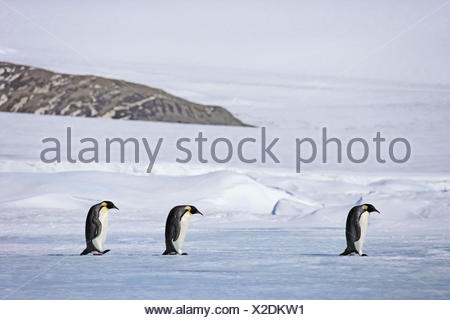Antarctic, pack ice, emperor penguins, Aptenodytes forsteri, group, hike, - Stock Photo