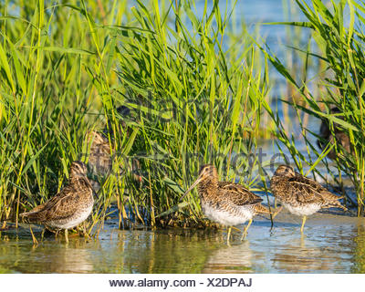 common snipe (Gallinago gallinago), troop resting in reed belt, Germany - Stock Photo