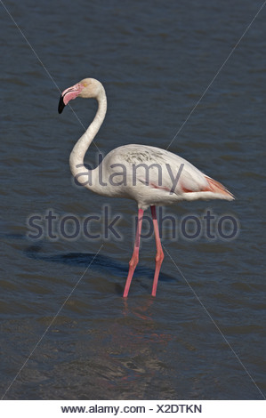 Greater Flamingo  (Phoenicopterus roseus) - Stock Photo