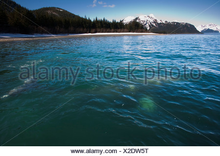 Gray Whale visible in shallow water feeding on herring spawn, Port Gravina, Prince William Sound, Southcentral Alaska, Spring - Stock Photo