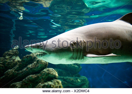 Albufeira, Portugal, a shark in an aquarium at the Zoo Marine - Stock Photo