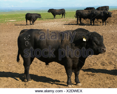 Livestock - Black Angus bulls on an open pasture / Alberta, Canada. - Stock Photo