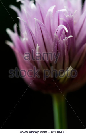 Allium schoenoprasum, Chive, Single purple herb flower subject, Black background - Stock Photo