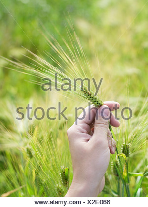 High angle view of a man s hand holding wheat stalks - Stock Photo