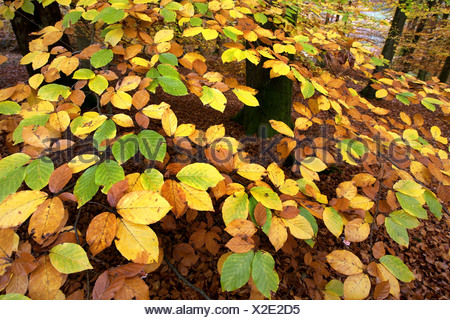 common beech (Fagus sylvatica), autumn leaves, Belgium, Ardennes - Stock Photo