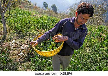 Harvesting bell peppers, Matiyama, Himachal Pradesh, India - Stock Photo