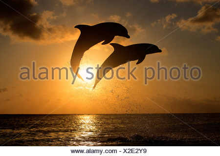 Two Common Bottlenose Dolphins (Tursiops truncatus), adult, leaping at sunset, Roatan, Honduras, Caribbean, Central America - Stock Photo