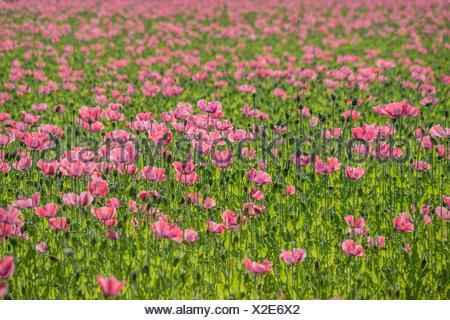 opium poppy (Papaver somniferum), blooming field, Austria - Stock Photo