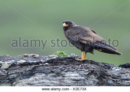 Striated Caracara (Phalcoboenus australis) perched on a rock in the Falkland Islands. - Stock Photo