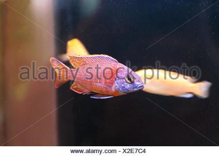Copadichromis kadango fish in aquarium swimmimg - Stock Photo