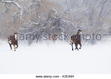 Cowboys drive a herd of horses through snow-covered pastures, - Stock Photo