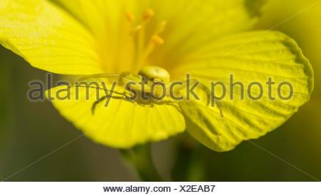 Goldenrod crab spider or flower spider (Misumena vatia) female on rock rose (Helianthemum sp.), Lower Austria, Austria - Stock Photo