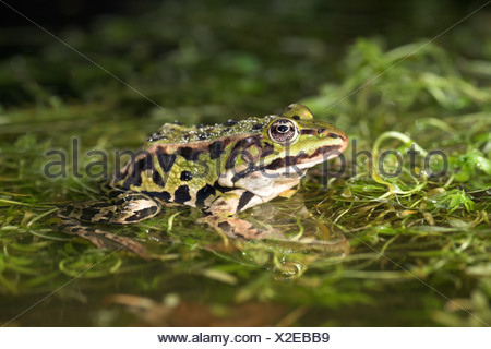 photo of an edible frog sitting on vegetation in the water. - Stock Photo