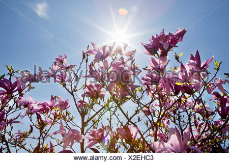 Magnolia plant with purple flowers - Stock Photo