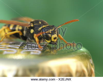 insect wasp vespiary - Stock Photo