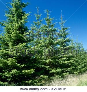 Picea abies - Common Spruce   CON059157 - Stock Photo