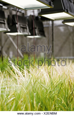 Genetically modified crop in a greenhouse - Stock Photo
