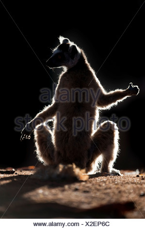 Ring-Tailed lemur Lemur catta sun basking at dawn Berenty Private Reserve Madagascar - Stock Photo